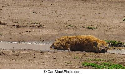 Tanzanian Spotted Hyena in Ngorongoro - Spotted Hyena...