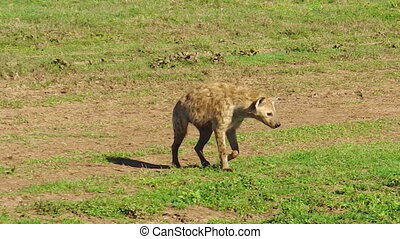 Tanzanian Spotted Hyena moving - Spotted Hyena moving in...