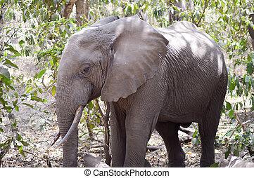 tanzania's, savanne, olifanten