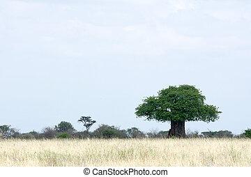 tanzanie, arbre, national, baobab, -, tarangire, park., afrique