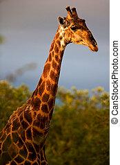 tanzanie, girafe, parc, national