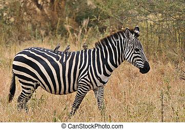 tanzanie, parc, tarangire, national, zebra