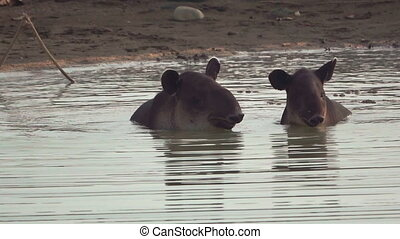 Tapir baby and mom in a pond, Corcovado, Costa Rica - Front...