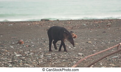 Tapir baby walking at the beach of Corcovado - Front view of...