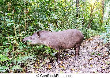 Tapir, betning, brasiliansk