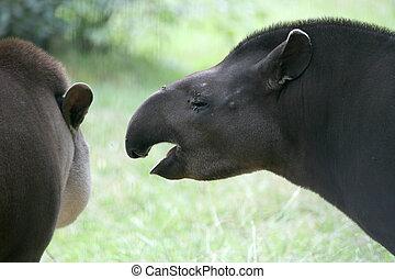 tapir, brasiliansk