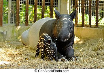 tapir, familia