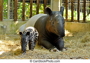 tapir, familie