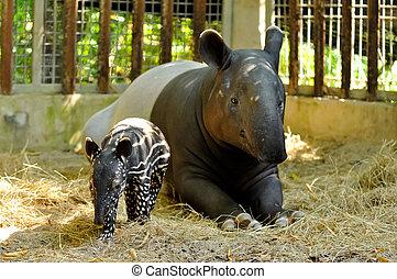 tapir, gezin