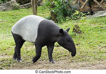 tapir malayo, indicus), (tapirus