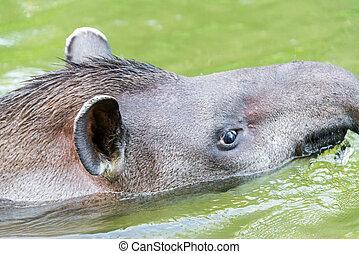 Tapir, Närbild, brasiliansk