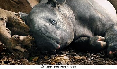 Tapir Rests In Jungle - Closeup of tapir lying down in the...