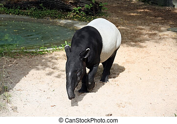 Tapir - This image shows a portrait from a malayan tapir