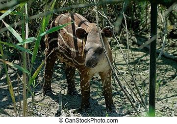 tapir, tierra baja,  (tapirus,  terrestris)