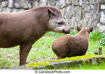 tapirus, sud, tapiro, americano, terrestris, anta