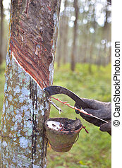 Tapping latex from a rubber tree, Malaysia