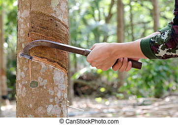 Tapping latex from a rubber tree. - Tapping latex from a...