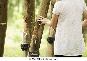 tapping latex from the rubber tree, Thailand