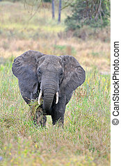 Tarangire Elephants - Elephant in Tarangire National Park...