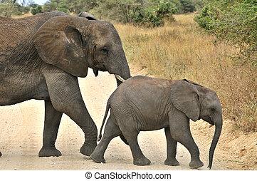 Tarangire Elephants - Elephants in Tarangire National Park...