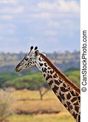 tarangire, girafe