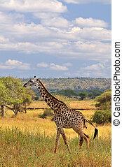 Tarangire giraffe - Giraffe in Tarangire National Park...