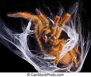 Tarantula displaying fangs