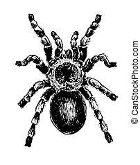 Tarantula drawing - hand drawn illustration of a tarantula ...