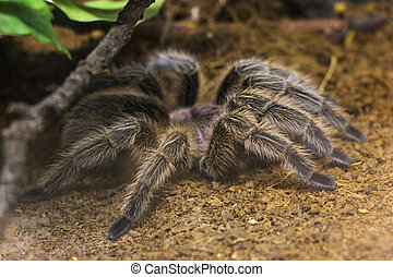 Tarantula in Hiding