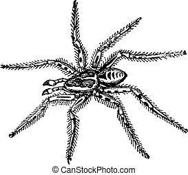 Tarantula (Lycosa Tarantula), reduced to one third of its natural size, vintage engraved illustration. Tarantula isolated on white. Trousset encyclopedia (1886 - 1891).