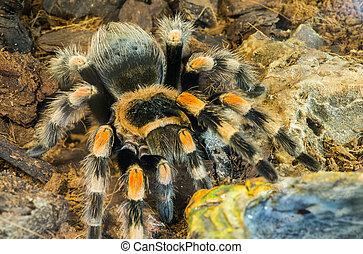 Tarantula spider