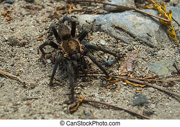 Tarantula Swarmed by Ants