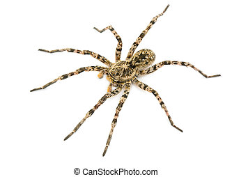 tarantulas spider