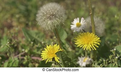 Taraxacum flower surrounded by green grass at spring