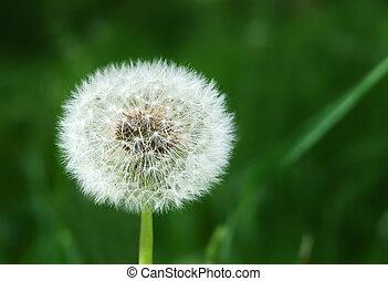 White dandelion on grassy glade background