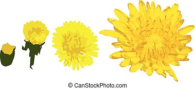 Taraxacum officinale yellow flower set, from small to bigger vector illustration
