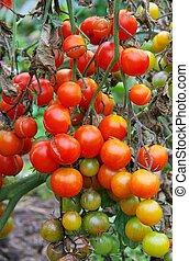 tard, tomate, rouille