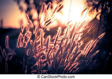 tarde, pennisetum, flor, tarde, luz del sol