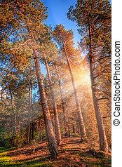 tarde, verão, luz solar, quebrando, a, árvores pinho, em, um, místico, floresta