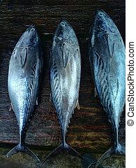 targ, tuńczyk, tunny
