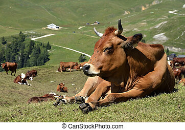 Closeup of Tarine cow lying in the French Alps in Savoie department at La Plagne