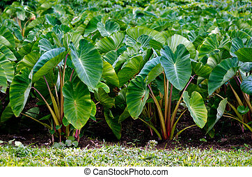 Taro crops in Aitutaki Lagoon Cook Islands