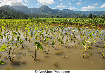 taro fields kauai hawaii