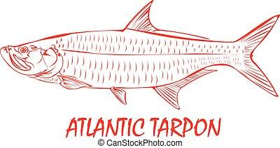 tarpon, fish., atlantisch