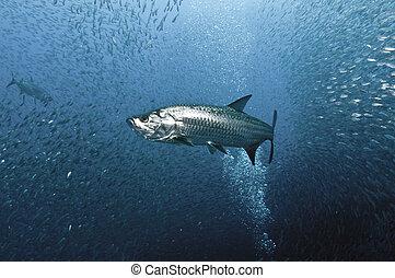 Tarpon Hunt - A Tarpon glides through a school of sardines.