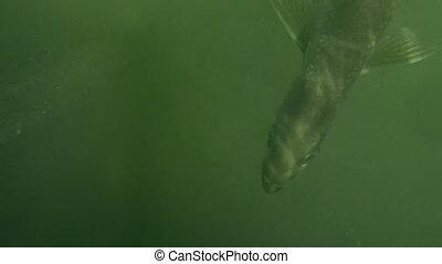 Tarpon Sport Fish Shot R21 - Tarpon Sport Fish under water...