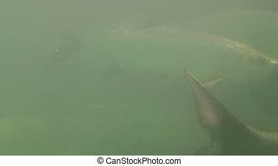 Tarpon Sport Fish Shot R25 - Tarpon Sport Fish under water...