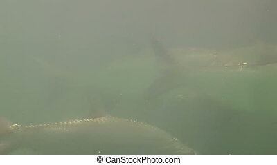 Tarpon Underwater Shot Five