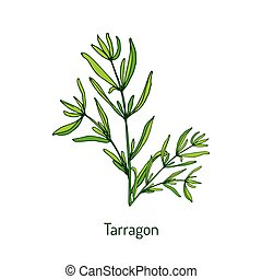 Tarragon, aromatic kitchen herb. Hand drawn botanical vector...