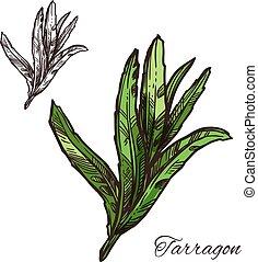 Tarragon, estragon green leaf sketch of spice herb